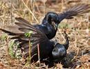 Loài chim cũng có mafia