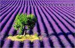 Kỹ thuật trồng hoa oải hương