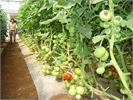 Giống cà chua ghép làm ra không đủ bán