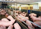 Nuôi lợn trên đệm lót - cách để bảo vệ môi trường