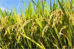 Nghiên cứu giống lúa thích ứng biến đổi khí hậu