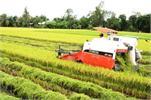 Kiên Giang khuyến cáo hạn chế trồng lúa IR50404
