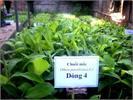 Quảng Trị khôi phục giống chuối giá trị xuất khẩu cao