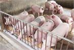 Ứng dụng công nghệ đệm lót sinh thái trong chăn nuôi