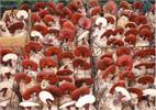 Thí điểm thành công công nghệ sản xuất nấm linh chi