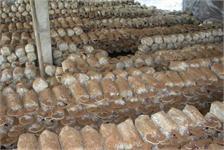 Thành công trong mô hình sản xuất nấm Linh Chi