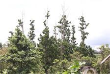 Việt Nam lập khu bảo tồn loài thông sắp tuyệt chủng